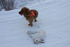 Tiger har hjälpt till att få ägaren att fälla haren (ägare Patrik Vidjeskog)