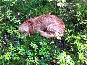 Trött i svampskogen - Väsynyt sienimetsällä